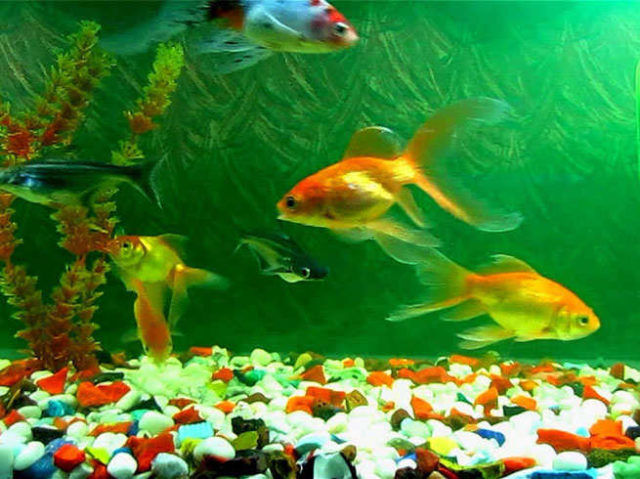 32842-2-fish-aqarium-is-a-remedy-for-prosperity-in-your-house.jpg