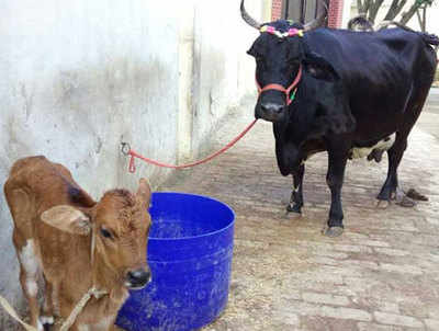 शंकराचार्य ने तोहफे में आजम को दी गाय