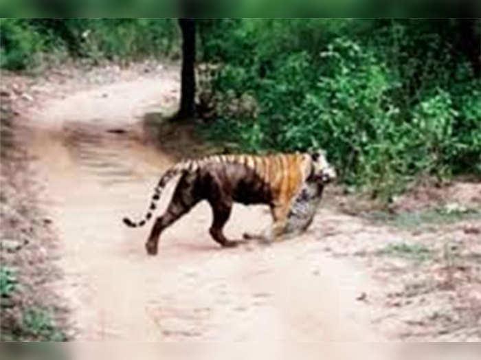 सरिस्का: बाघिन-तेंदुए की लड़ाई में बाघिन जीती, मर गया तेंदुआ
