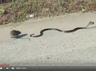 Mother rat saves baby from the snake