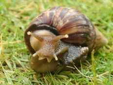 African snails are not safe to eat KFRI