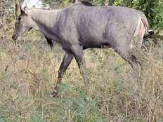 Loss in agriculture due to blue bulls and wild pig is main reason behind farmers suicide