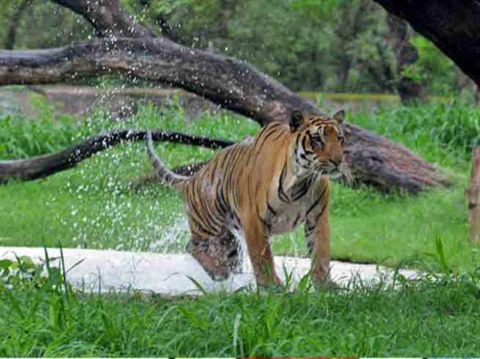 मध्य प्रदेश के अभयारण्यों में एक साल में 13 बाघों की मौत