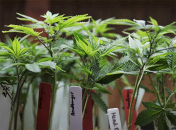 medical marijuana aids some kids with epilepsy
