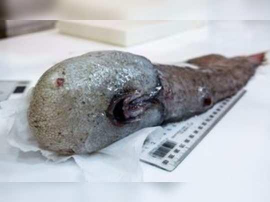 ১৫০ বছর আগে হারিয়ে যাওয়া মাছ ফের মিলল অস্ট্রেলিয়াতে