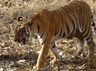 tigress katrina delivers 3rd litter in 3 years