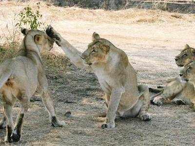 शेरों के झुंड के बीच महिला ने बच्चे को दिया जन्म