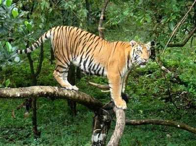 मंगलयान प्रॉजेक्ट से ज्यादा कीमती है दो बाघों की जान: रिपोर्ट