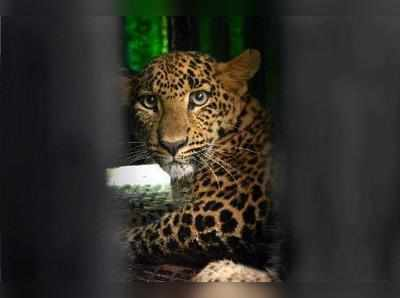 A leopard cub inside a cage at the forest department office in Karad, Maharashtra on Wednesday after it was captured from a sugarcane field in a village.Photo