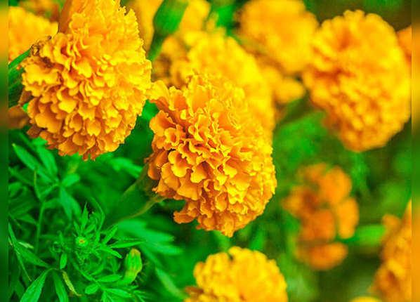 गेंदे के फूलों की खुशबू