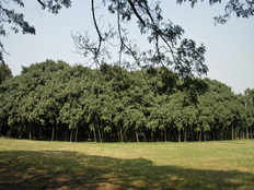 great banyan tree of the world