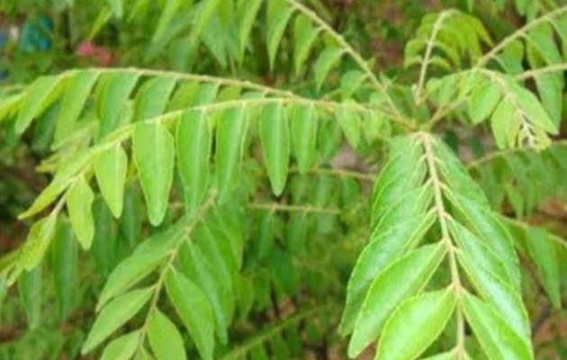 इन पत्तियों में छिपा डायबीटीज का इलाज