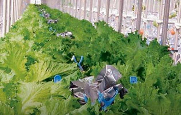 किचन गार्डेन में जैविक सब्जियां उगाना सीख रहीं कश्मीर की महिलाएं
