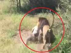 shocking video lion attacked on old man in cape town