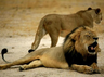lions pumas escape from german zoo police in pursuit