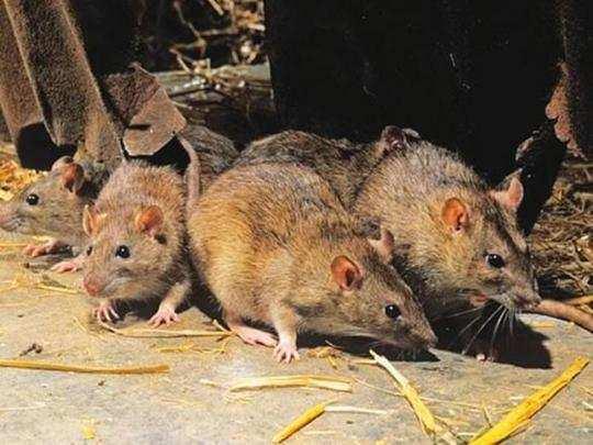 Rat Fever