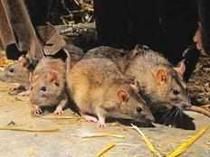 sri lanka health authorities warn of rat fever spreading