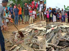 mob slaughters nearly 300 crocodiles after man killed in indonesia