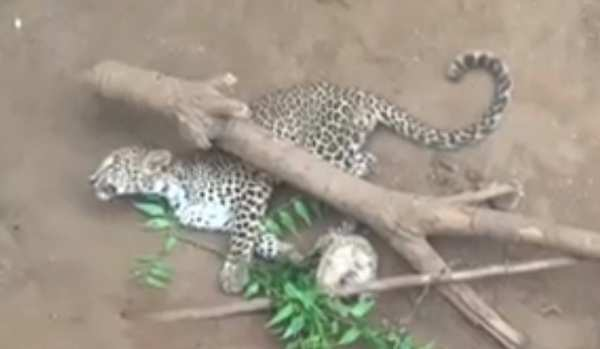 leopard cub rescued from a trap in banswada