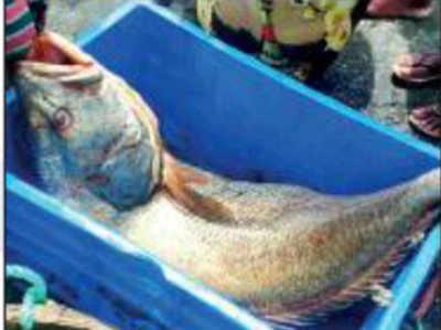घोल मछली