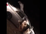 a camel stuck inside of a car after road accident