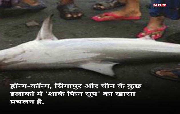 शार्क फिन सूप के लिए मार दी गईं 20,000 शार्क