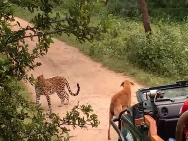 stray dog scares away leopard in rajasthan reserve forest