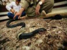 cobra venom drug popular in northwest rajasthan