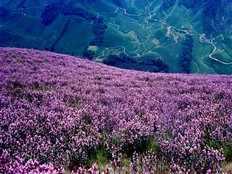 rarest flower neelakurinji blooms in keralas munnar