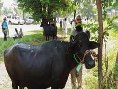 cash starved imran government auctions 8 buffaloes kept by nawaz sharif at pm house