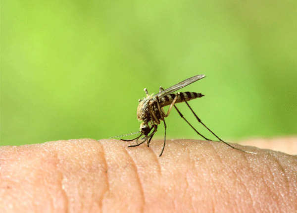 गलत इलाज से जानलेवा साबित हो सकता है डेंगू