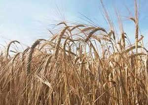 health and beauty benefits of barley