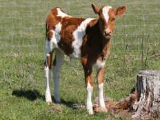 uttar pradesh youth rapes 4 month old calf hindu youth wing protests
