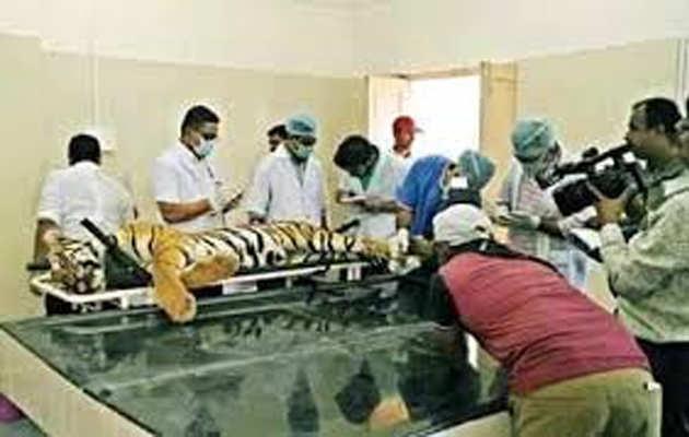 वन अधिकारियों पर हमले के बाद आदमख़ोर बाघिन अवनी को मारी गई गोली: महाराष्ट्र मंत्री