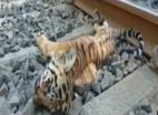 महाराष्ट्र के चंद्रपुर जिले में शेर के तीन शावक मृत पाए गए