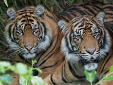 need to save tigers