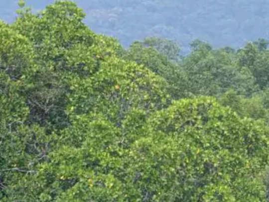 खारफुटीच्या जंगलातील वृक्षतोडीची माहिती अॅपवर येणार