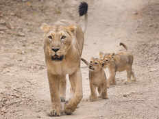 dead body of asiatic lioness found in gir forest of gujarat