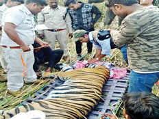 maharashtra tiger travels 510 km and reaches madhya pradesh while killing two farmers captured