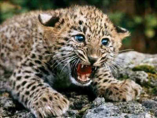 leopard-baby