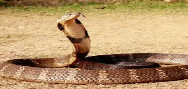 कन्नौज: कोबरा ने किसान को डसा, सांप को लेकर अस्पताल पहुंचे