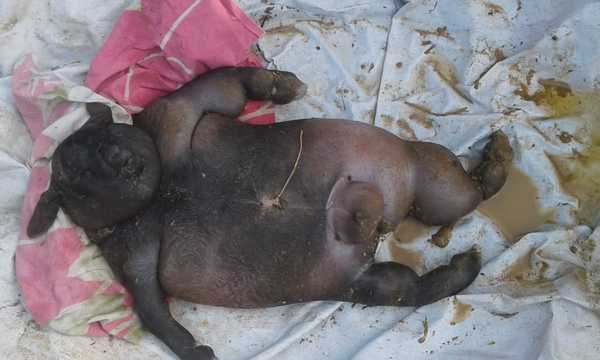 shocking farmer goat gives birth to human like creature died people buried as like as human