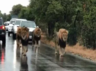 viral video four lions take over busy road