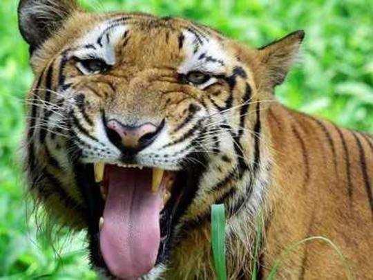 tiger-eats-tigress-in-mp