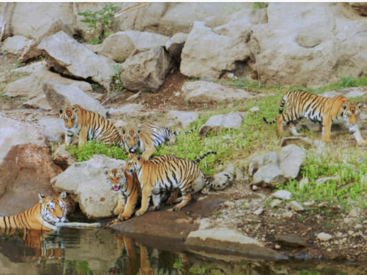 supermom collarwali: 'सुपरमॉम कॉलरवाली' बाघिन ने बनाया रेकॉर्ड, MP-राजस्थान के टाइगर रिजर्व में अच्छे दिनों के संकेत - supermom collarwali tigress in pench tiger reserve sets record | Navbharat Times