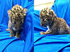 leopard cub rescued at airport to be returned to bangkok
