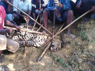 मारा गया तेंदुआ