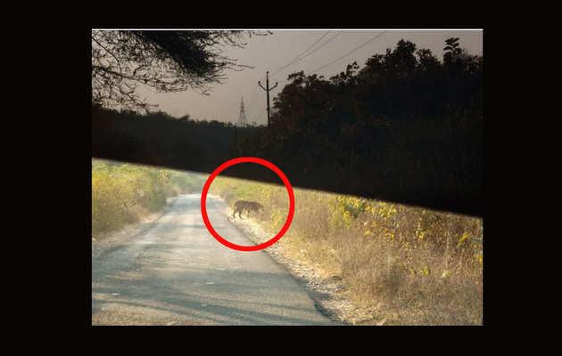 27 साल बाद गुजरात में दिखाई दिया बाघ