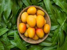 benefits of mango leaves for asthma