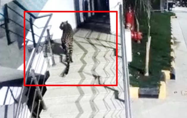 देखें: ठाणे के मॉल में घुसा तेंदुआ